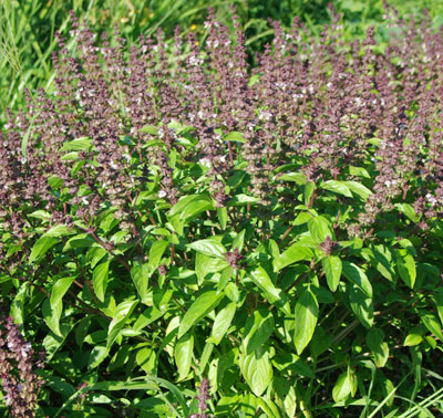 health benefits of tulsi or basil 400 x 378