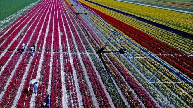 Asia Tulip Company grows up to 100 acres of Nargas and exports to other countries outside Turkey